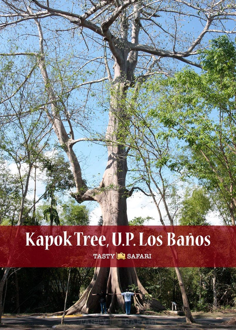 Fresh Milk and a Kapok Tree: Memories of U.P. Los Baños