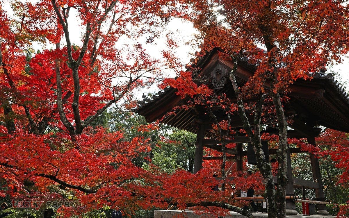 Pausing on the way to Kinkaku-ji (Temple of the Golden Pavilion) to admire the beautiful colors of fall