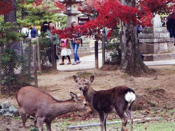 Deers roaming freely in Nara Park