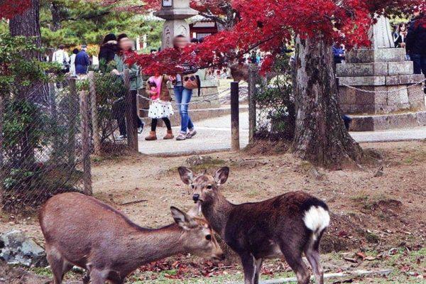 Deers roaming freely in Nara Park