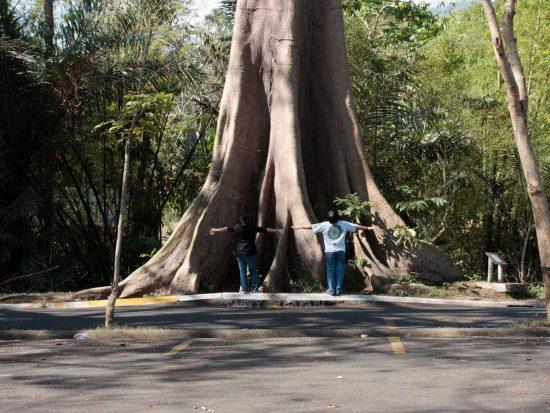 Alex and Speedy Veneracion and our favorite kapok tree in U. P. Los Baños