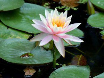 The lotus is regarded as Vietnam's national flower