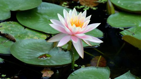The lotus is regarded as Vietnam's national flower