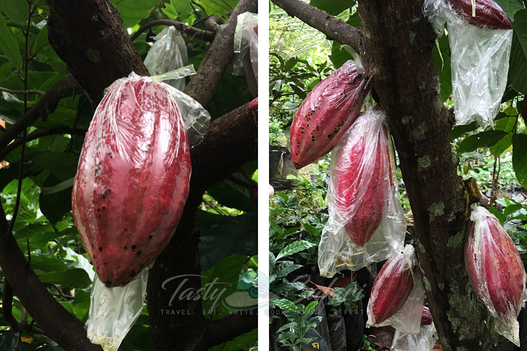 Cacao fruits growing on trees