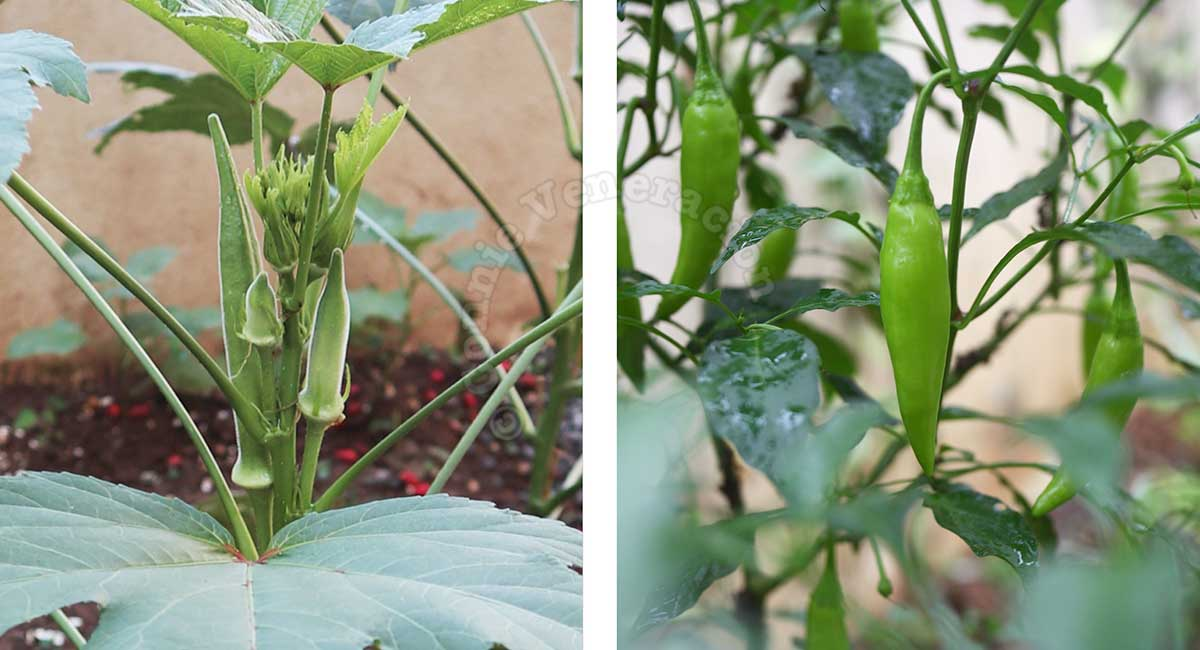 Okra and finger chilies growing in the our home garden