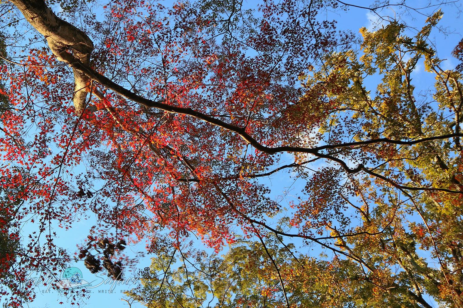 Autumn leaves at Fushimi Inari, November 4, 2019