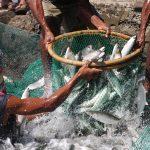 Bangus (milkfish)
