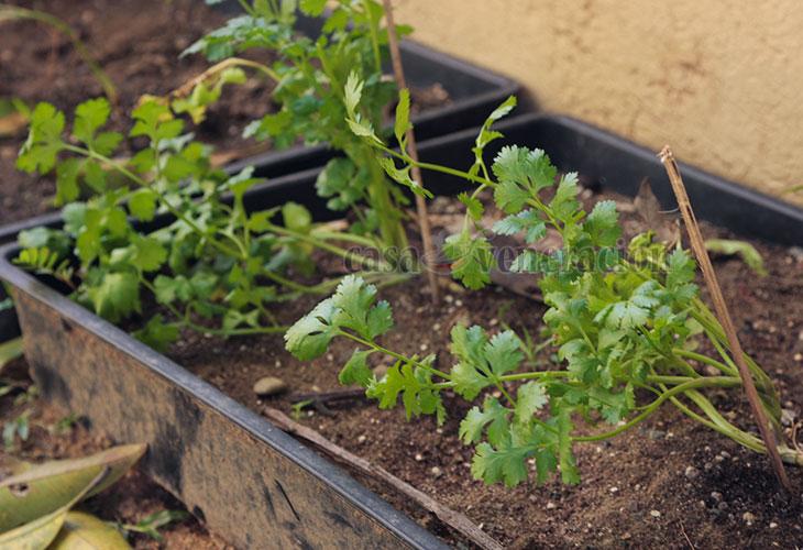 Growing Cilantro At Home