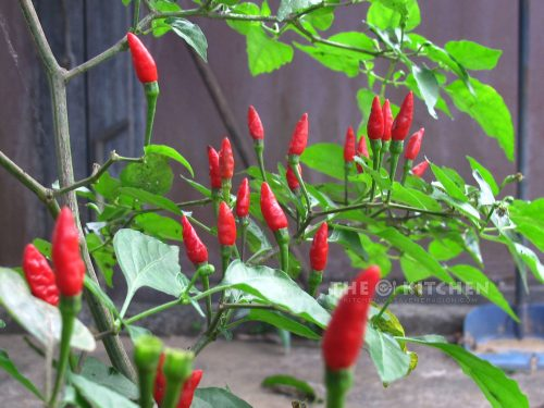 Siling labuyo, not bird's eye chilies