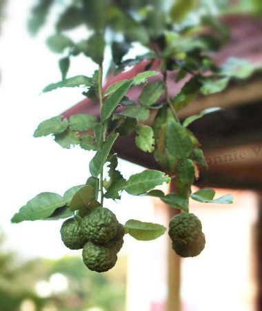 Branch of kaffir lime tree heavy with fruits