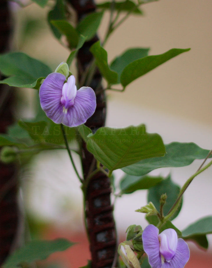 vine with lavender-colored butterfly-pea flowers shaped like butterflies