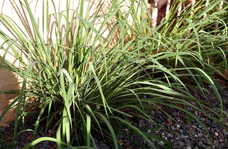 Lemongrass planted on soil