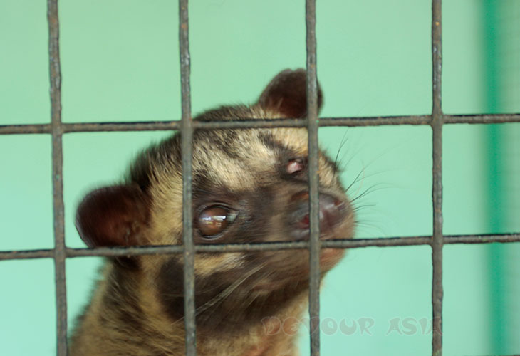 Palm civet in a cage in a zoo in Albay