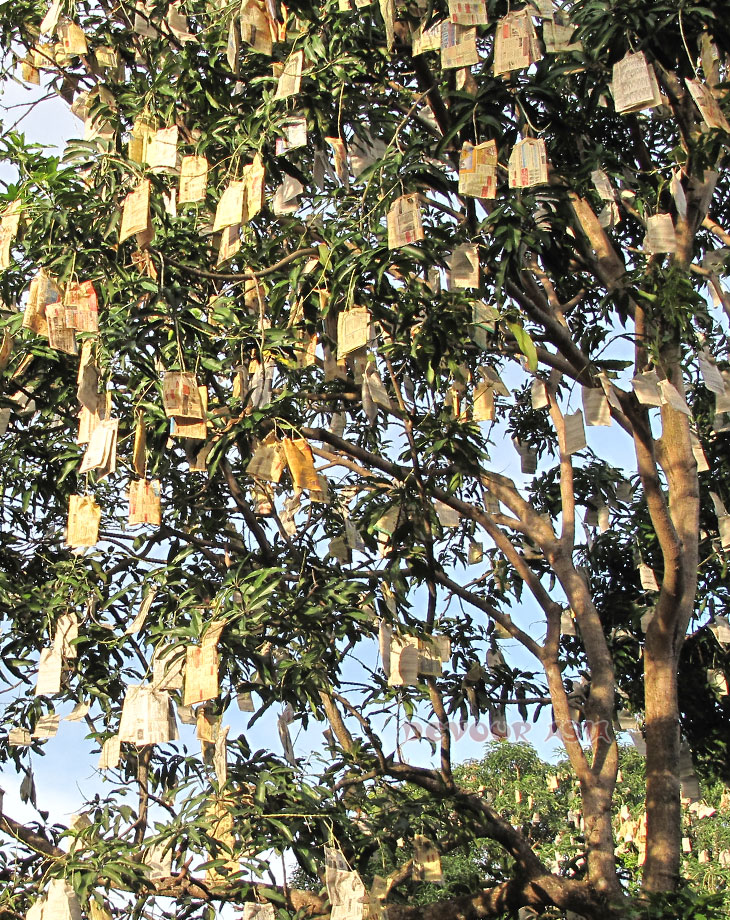 Mangoes growing tree covered with paper bags to keep them safe from insects