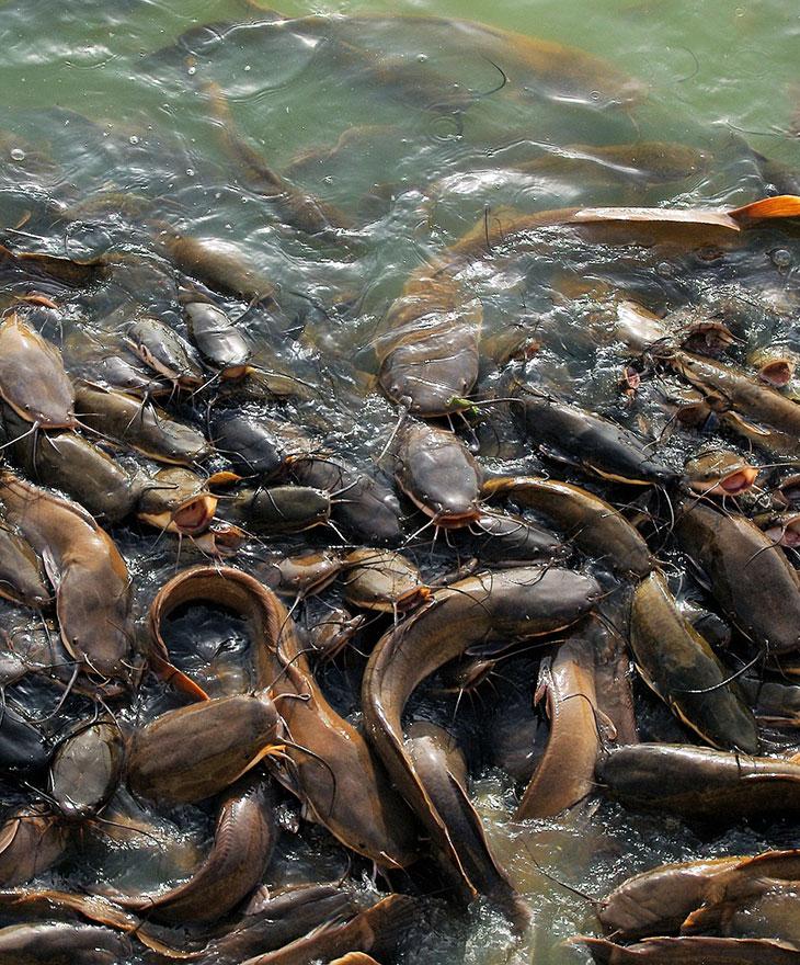 Catfish in pond