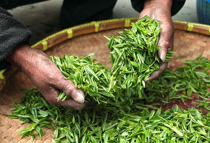 Tea leaves (Camellia sinensis)